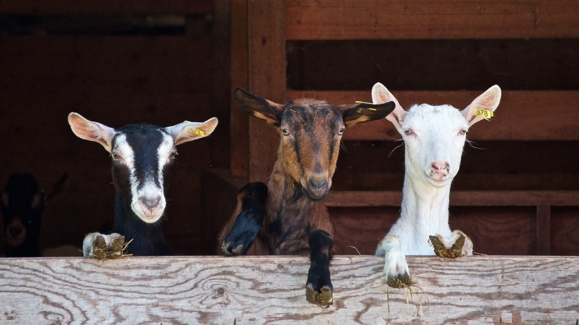 How Goats Can Help Your Pet's Poo